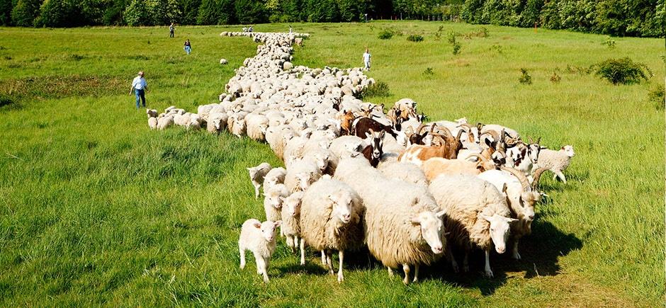 teambuilding-workshop-sheeps